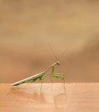 Mantis Praying Fotografia de Stock