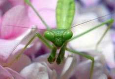 Mantis Praying Fotos de Stock