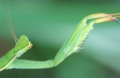 Mantis Praying Fotografia de Stock