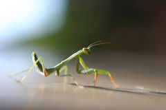 Mantis Praying Fotografia de Stock Royalty Free