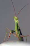 Mantis praying bonito Imagem de Stock Royalty Free