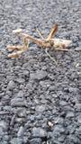 mantis praying do inseto Fotos de Stock