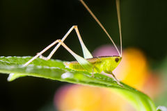 Mantis,praying. This is a kind of small mantis in China Royalty Free Stock Photo