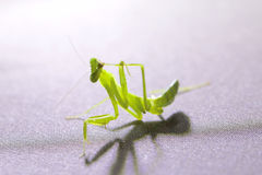 Preying mantis isolated on grey background Royalty Free Stock Photography
