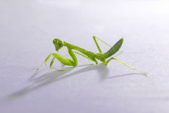 Mantis,praying. This is a kind of small mantis in China Stock Photo