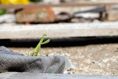 Mantis or Praying Mantis, Mantis religiosa Stock Photos