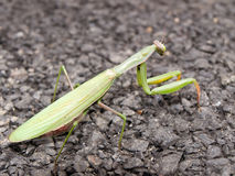 Mantis Praying verde imagens de stock royalty free