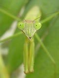 mantis predante Fotografia Stock