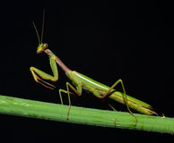 Mantis profile Royalty Free Stock Photos