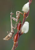 Mantis on pussy willow Stock Images