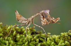 Mantis que come o grilo Fotografia de Stock