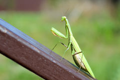 Mantis on the rail. Big green mantis sitting on the inclined brown metal rail Royalty Free Stock Images