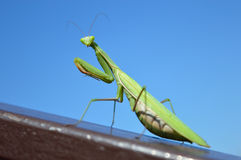 Mantis on the rail. Sight of the big green mantis sitting on the inclined brown metal rail Royalty Free Stock Photography