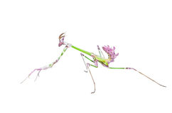 Mantis raptor with long spiked forelegs in attack pose Royalty Free Stock Photography
