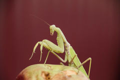Mantis on a red background. Mating mantises. Mantis insect predator. Stock Image