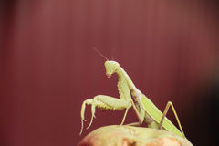 Mantis on a red background. Mating mantises. Mantis insect predator. Royalty Free Stock Photo