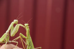Mantis on a red background. Mating mantises. Mantis insect predator. Royalty Free Stock Photography