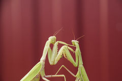Mantis on a red background. Mating mantises. Mantis insect predator. Stock Photos