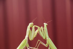 Mantis on a red background. Mating mantises. Mantis insect predator. Royalty Free Stock Image
