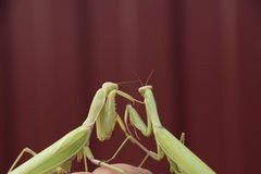 Mantis on a red background. Mating mantises. Mantis insect predator. Royalty Free Stock Photos