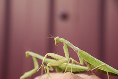 Mantis on a red background. Mating mantises. Mantis insect predator. Stock Photography