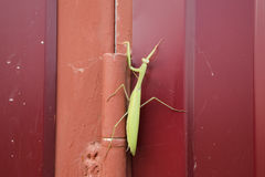 Mantis on red fence. Mating mantises. Mantis insect predator. Royalty Free Stock Photo