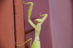 Mantis on red fence. Mating mantises. Mantis insect predator. Royalty Free Stock Images