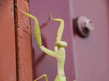 Mantis on red fence. Mating mantises. Mantis insect predator. Stock Photography