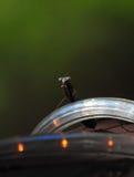 Mantis Regligiosa богомола отдыхая на конце освещения СИД вверх Стоковые Изображения RF