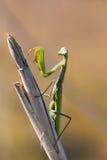 Mantis religiosa Stock Image
