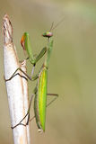 Mantis religiosa. Portrait of a Mantis religiosa on a straw Stock Photography