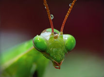 Mantis Religiosa. The portrait of Mantis Religiosa with drops of water royalty free stock photography