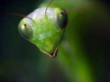 Mantis Religiosa. The close-up portrait of Mantis Religiosa royalty free stock photos