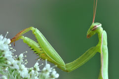 Mantis religiosa Stock Images