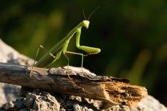 Mantis religiosa. On blurred background Royalty Free Stock Photo