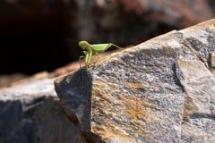 Mantis religiosa fotos de archivo