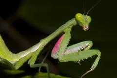 Mantis religiosa Imagen de archivo