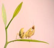 Mantis religiosa Fotografía de archivo