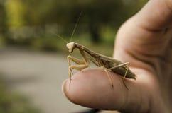 Mantis Religiosa Стоковая Фотография RF