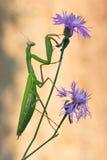 Mantis Religiosa Foto de Stock
