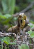 Mantis Religiosa Lizenzfreie Stockbilder