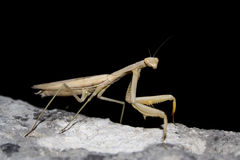 Mantis religiosa Stock Photography