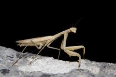 Mantis religiosa Stock Photography