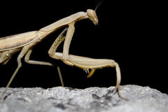 Mantis religiosa. Zoom of a mantis religiosa on a black background Royalty Free Stock Photography