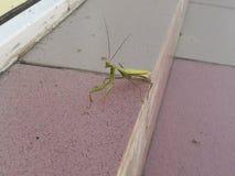 Mantis Religiosa στοκ εικόνες με δικαίωμα ελεύθερης χρήσης