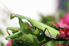 Mantis religiosa Stock Photo
