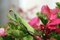 Mantis religiosa Stockbilder