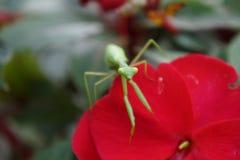Mantis religiosa 3 Imagen de archivo
