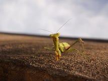Mantis religiosa amistosa Imagen de archivo libre de regalías