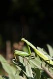 Mantis religiosa - betender Mantis lizenzfreies stockbild